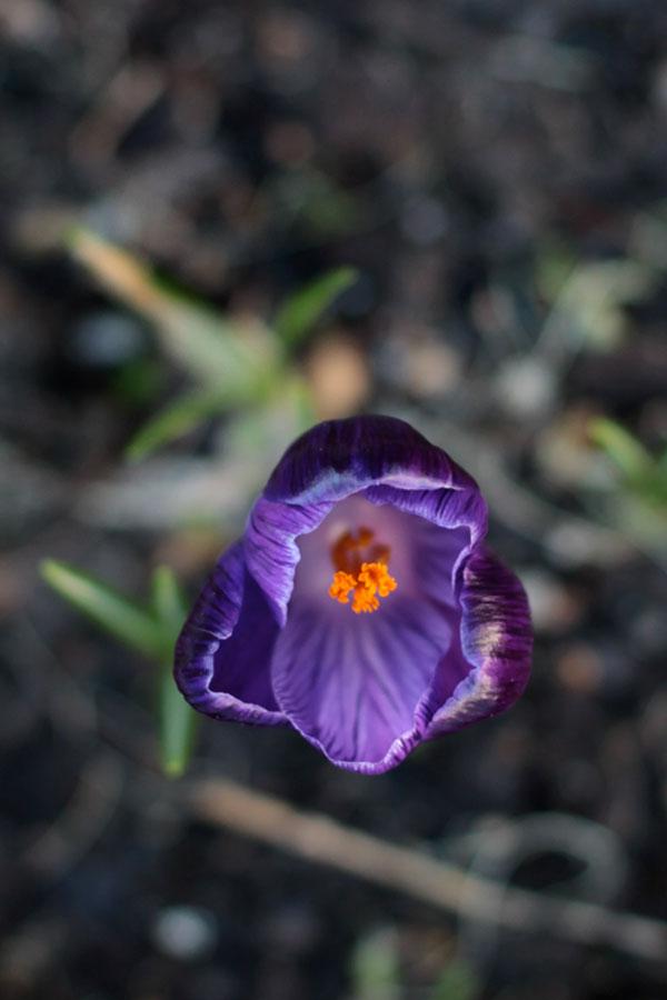 Crocus Purple Spring---Bit-Square-Blog