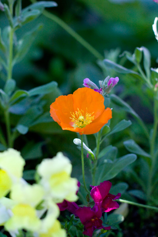 Spring Garden Flowers - Orange Poppy Feature